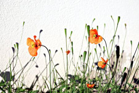 poppies high key Banco de Imagens