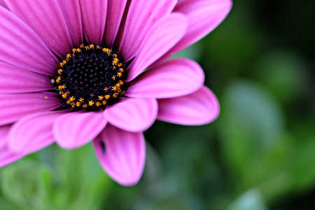 closeup of a red violet daisy