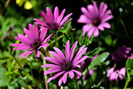 red violet daisies