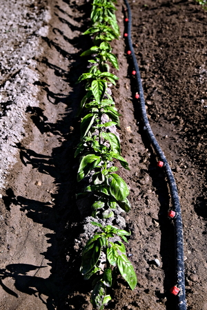vegetable garden view, row of basil plants