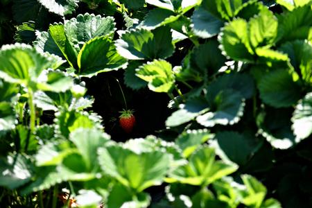 Vegetable garden plant, an hidden strawberry, focus on the fruit