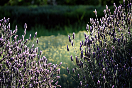 bush with lavender flowers in a garden