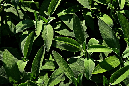 close up of a plant of sage