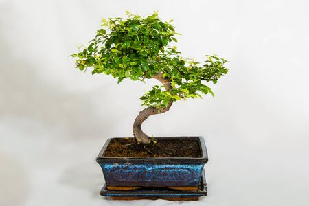 Bonsai verdes con ramas marrones en el florero de cerámica azul Foto de archivo - 60564848