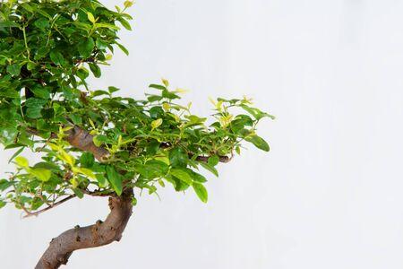 Bonsai verdes con ramas marrones en el florero de cerámica azul Foto de archivo - 60555552