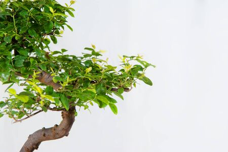 Green bonsai with brown branches on blue ceramic vase