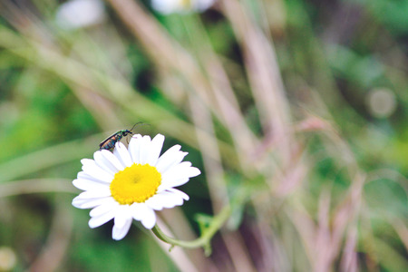 Daisy flower with insect