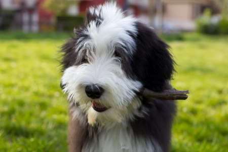 A bearded collie puppy playing in the park  photo