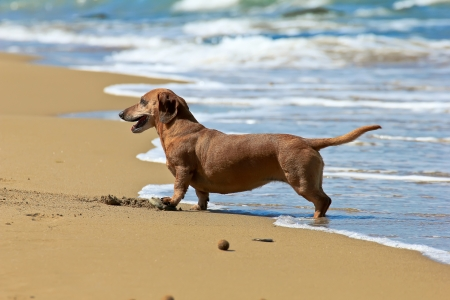 dachshund dog on the beach photo