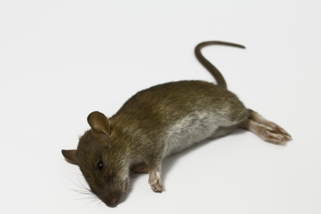 dead rat on white background photo