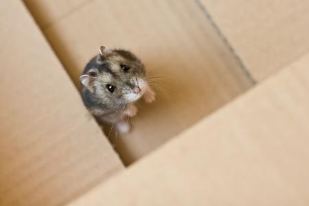 Russische Hamster in een doos Stockfoto