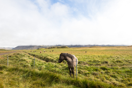 Horse in a mountain field. An Icelandic horse standing in a field in a countryside