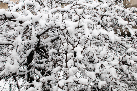 Snow on snow deposits on the branches of a fruit tree, cold and frost in winter with snow-covered trees.