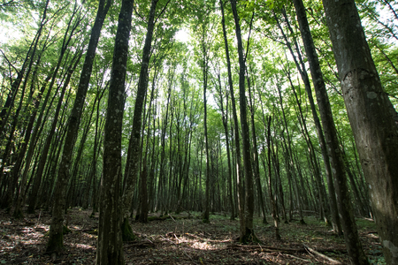 tall trees with green fronds in the forest. Hiking trails and nature trekking in the forest
