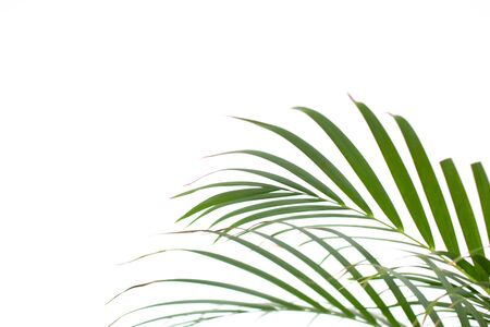 exotic foliage background green on white. Palm leaf on white background 免版税图像