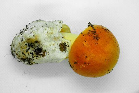 Autumn raw ove mushroom fungus on white background, seasonal food ingredient