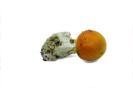 Raw wild ova isolated mushroom fungus on white backgroun,autumn food ingredient