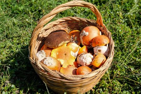 Wild mushrooms in a basket,autumn seasonal food ingredients,porcini boletus