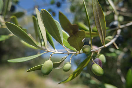 Italian olives trees branch close up,extra virgin olive oil production,genuine bio green olives