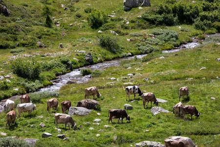 Formazza (VCO), Italy - June 25, 2020: Cows near Lake Vannino, Formazza Valley, Ossola, VCO, Piedmont, Italy