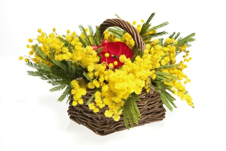 wattle: basket of mimosas on white background
