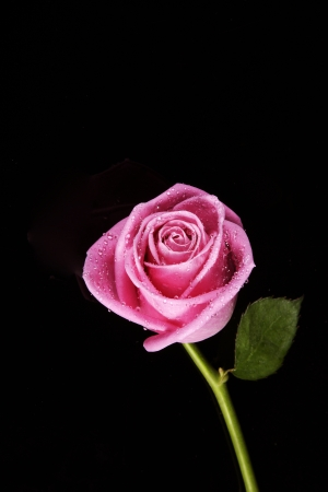 pink rose fresh bloom on black background photo