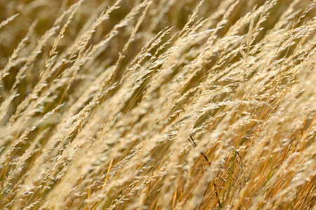 Wheat field at summer. Background concept.