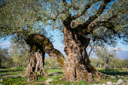 Secular olive trees in the region of Umbria (Italy). 写真素材