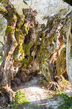 Secular olive trees in the region of Umbria (Italy). Archivio Fotografico