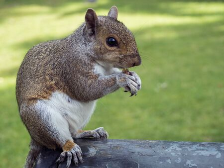 Grey squirrel in a London Park eating nuts. Landscape format. Stok Fotoğraf