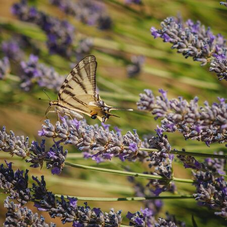 A common yellow swallowtail butterfly (Papilio Machaon) on a lavender flower. Stok Fotoğraf