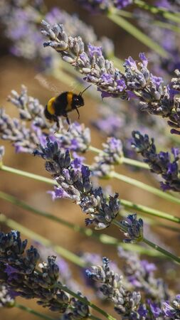 Close up of a bumblebee on a lavender flower.