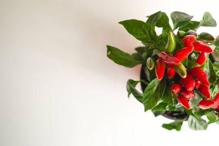 Blick von oben auf eine rote Chili-Pfeffer-Pflanze auf weißem Hintergrund. Landschaftsformat.