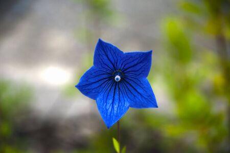 Wild flower of the dark blue hand bell photo