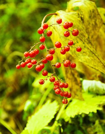 Berry a guelder-rose on a bush in the autumn Stock Photo - 7982836