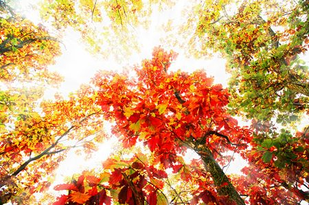 Autumn landscape in rays of light with a maple photo