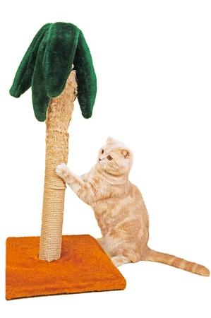 flink: Skottish Fold Kat sch�rfen seine Klauen auf einem Palm-Ger�t