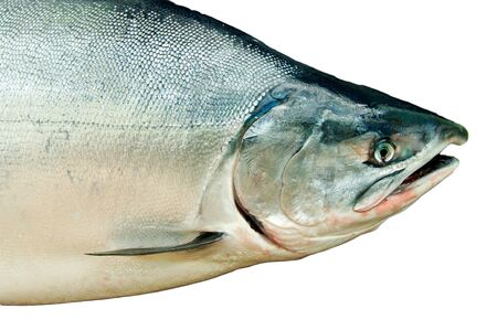 Fresh  big  salmon head. Isolated on white background Oncorhynchus masou photo
