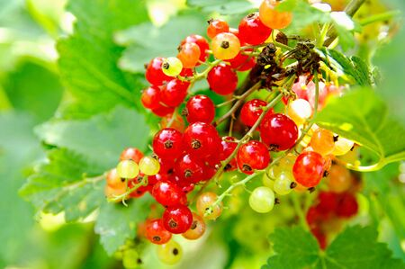 red currants on the bush at summer