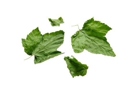 Four currant leaves on the  white background Stock Photo