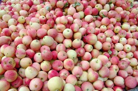 freshly picked: Red apples background, freshly picked tasty fruits. Stock Photo