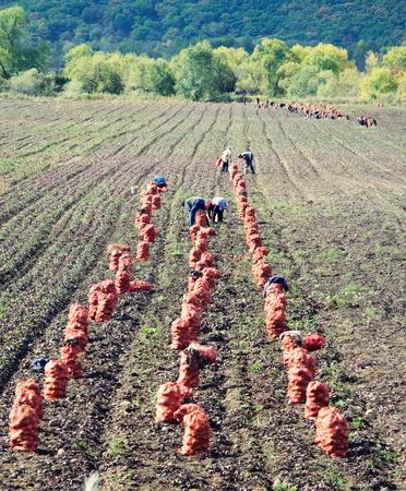 Fresh potatoes in sack on the field