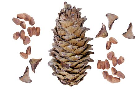 big pine cone with seeds is  isolated