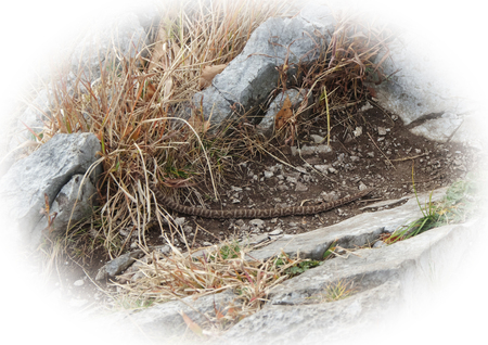 behavioral: Cottonmouth Snake crawling on the ground in the wild Stock Photo