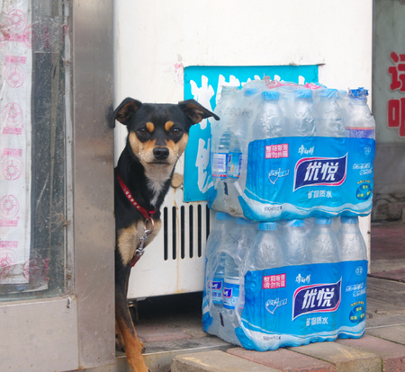 beagle mix: Dog peeking through the door opening amid packages of mineral water Mishan    , China 26.08.2015 Editorial