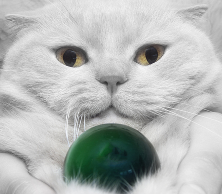 cat eye: Close-up white cat with a stone cats eye - the concept