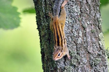 ardilla: pequeña ardilla sentado en el tronco de árbol de cerca