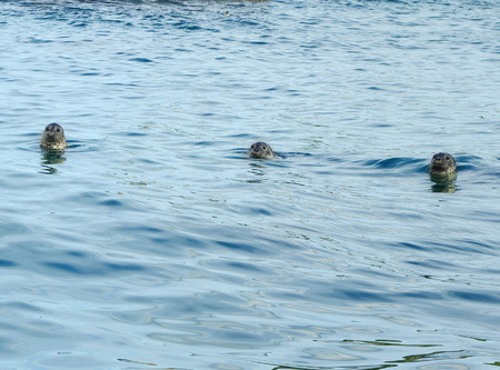 Head of spotted seals in the sea