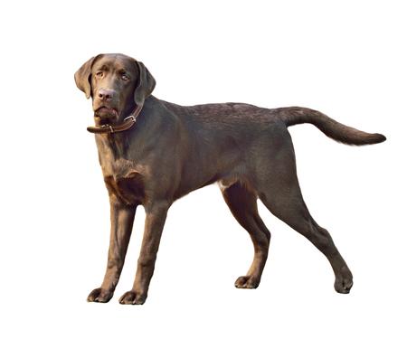 Labrador retriever dog. Close-up portrait isolated on white background Banco de Imagens