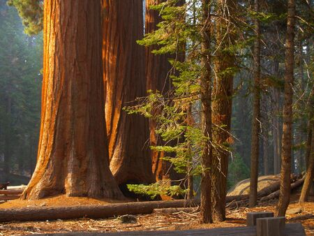 Three majestic sequoias standing tall in partial sunlight Imagens